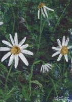 Daisys 3/3
