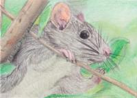 Cute Vole Rat