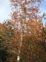 fiery_fall_tree.jpg