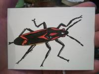 box elder bug ATC