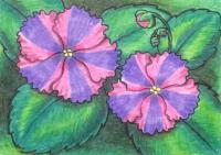 Chimera Violets