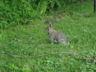 bunny in the backyard