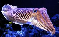 Cuttlefish Example